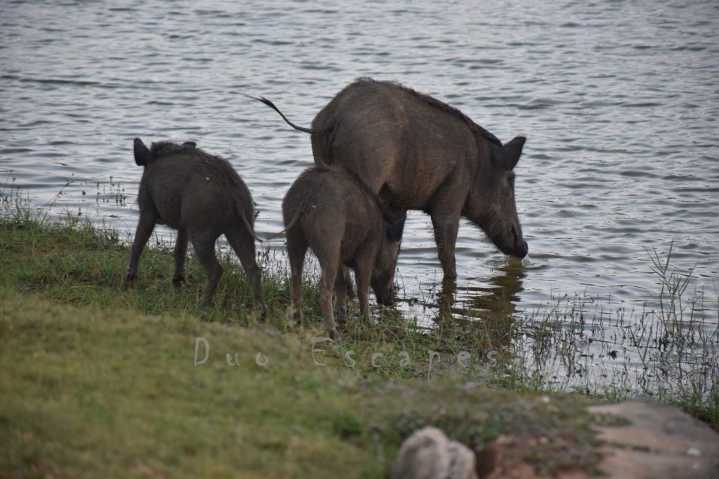 Cinnamon Wild Yala, Wild Boars at Yala