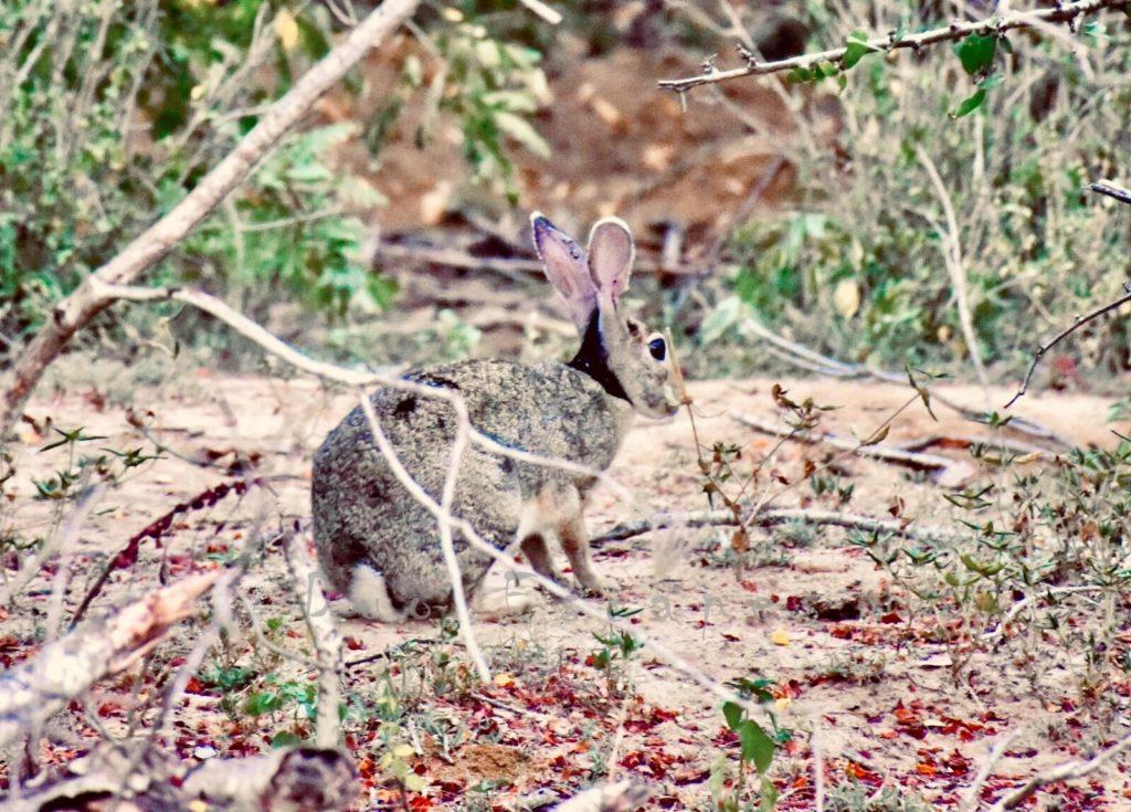 Rabbit at Cinnamon Wild Yala
